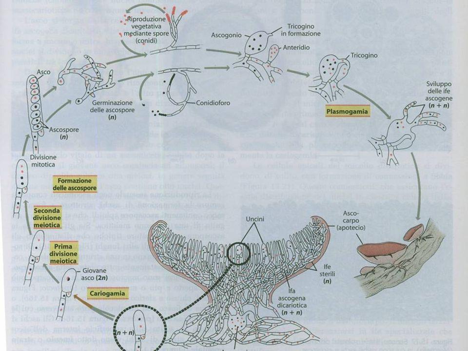 I procarioti o batteri (regno Monera) Tumori prodotti dal virus del tumore da ferita nel meliloto bianco, Melilotus alba Particelle del virus del tumo
