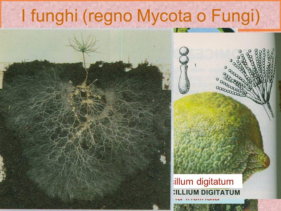 I funghi (regno Mycota o Fungi) Sono organismi eucarioti caratterizzati da : Nutrizione eterotrofa e mancanza di plastidi e clorofilla; Nutrizione in