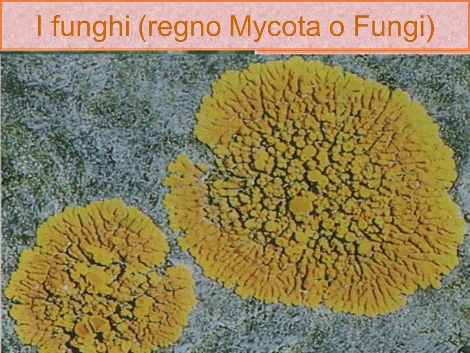 I funghi (regno Mycota o Fungi) I funghi vivono comesaprofitiparassitisimbionti I funghi saprofiti (gr.saprós-putrido e phytón-pianta) riescono a degr