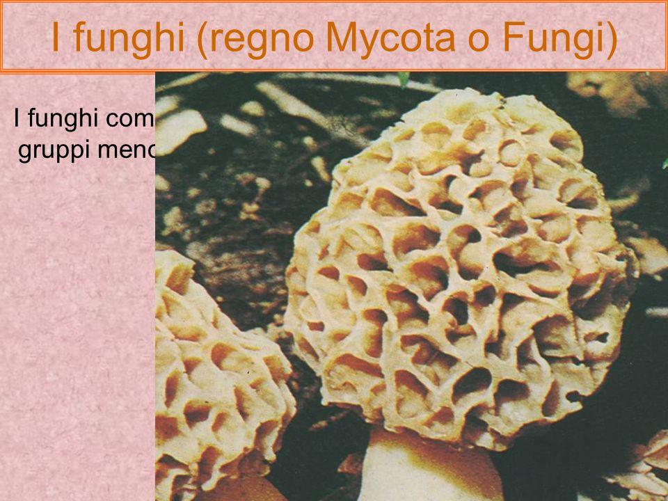 I funghi (regno Mycota o Fungi) I licheni sono simbiosi tra fungo e un organismo fotosintetico che può essere unalga verde o un cianobatterio. Il fung