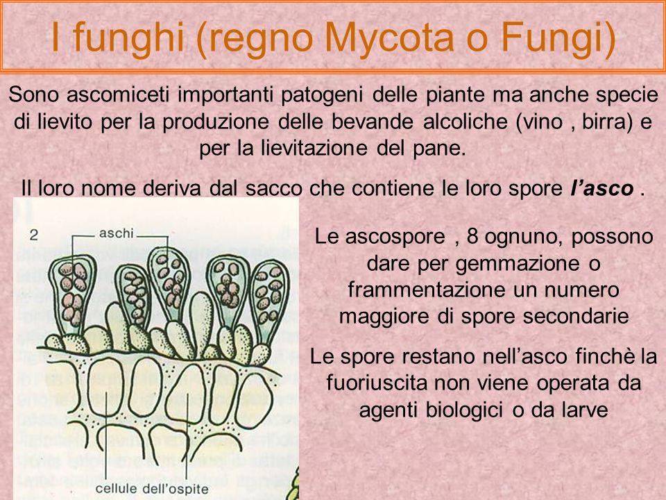 I funghi (regno Mycota o Fungi) I funghi comprendono ascomiceti, basidiomiceti e altri gruppi meno importanti (zigomiceti, deuteromiceti ecc.)