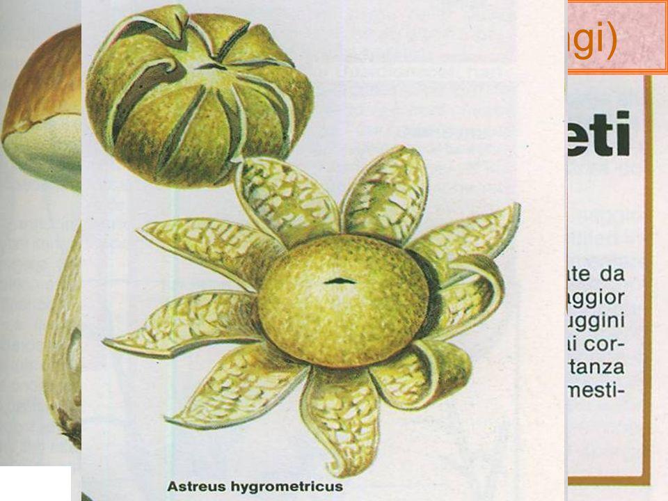 I funghi (regno Mycota o Fungi) Gli aschi sono frutto della riproduzione sessuata delle ife. Alcune cellule di esse sono considerate donatrici(-anteri