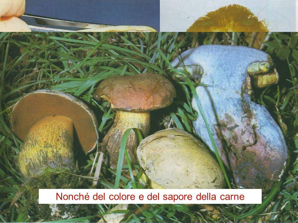 I funghi (regno Mycota o Fungi) Boletus edulis