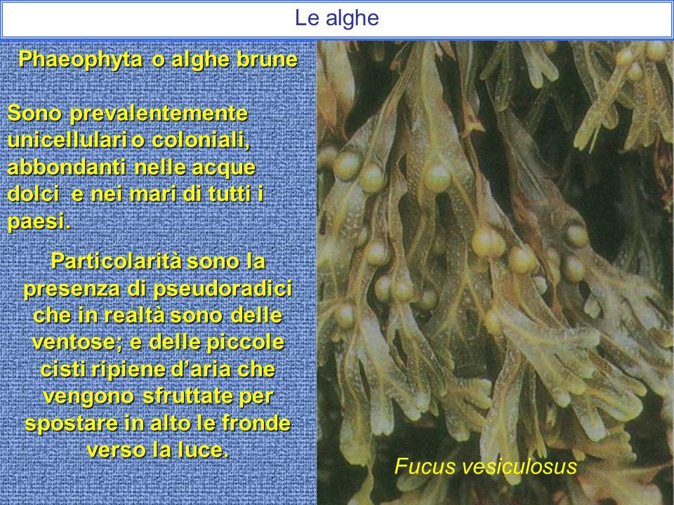Le alghe Rhodophyta o alghe rosse Abbondano nelle acque calde e tropicali sebbene molte siano presenti nelle regioni più fredde del mondo. Vi sono dal