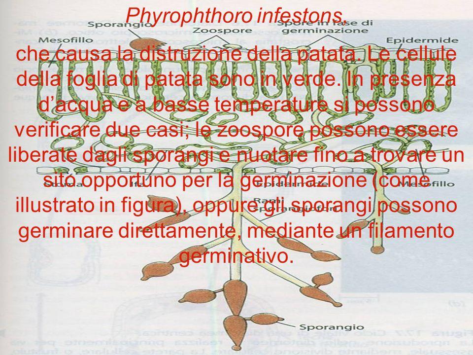 Le alghe Chlorophyta o alghe verdi Crescono generalmente negli strati più superficiali dei corpi dacqua. Comprendono forme unicellulari, pluricellular