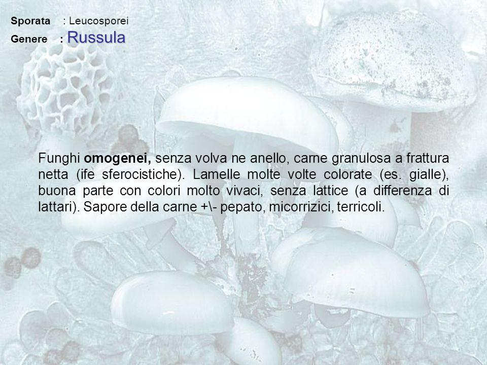 Sporata : Leucosporei Russula Genere : Russula Funghi omogenei, senza volva ne anello, carne granulosa a frattura netta (ife sferocistiche). Lamelle m