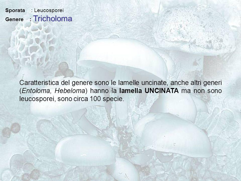 Sporata : Leucosporei Tricholoma Genere : Tricholoma Caratteristica del genere sono le lamelle uncinate, anche altri generi (Entoloma, Hebeloma) hanno