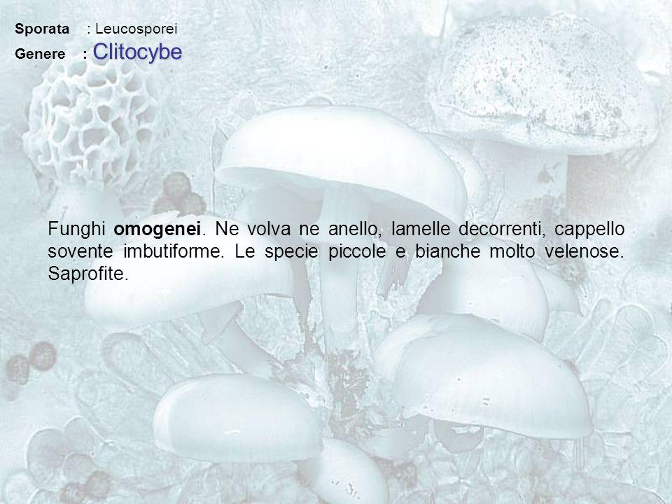 Sporata : Leucosporei Clitocybe Genere : Clitocybe Funghi omogenei. Ne volva ne anello, lamelle decorrenti, cappello sovente imbutiforme. Le specie pi