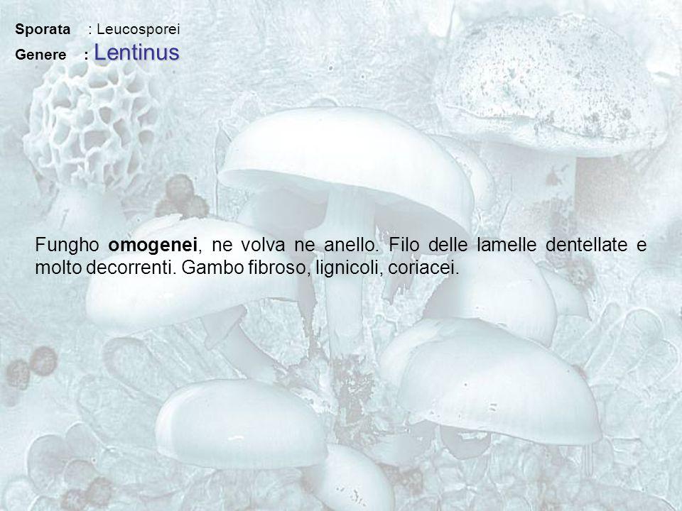 Sporata : Leucosporei Lentinus Genere : Lentinus Fungho omogenei, ne volva ne anello. Filo delle lamelle dentellate e molto decorrenti. Gambo fibroso,