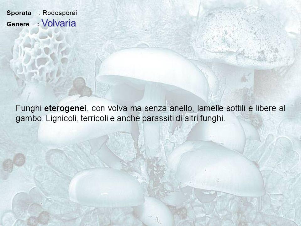 Sporata : Rodosporei Volvaria Genere : Volvaria Funghi eterogenei, con volva ma senza anello, lamelle sottili e libere al gambo. Lignicoli, terricoli
