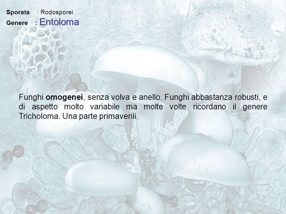 Sporata : Rodosporei Entoloma Genere : Entoloma Funghi omogenei, senza volva e anello. Funghi abbastanza robusti, e di aspetto molto variabile ma molt