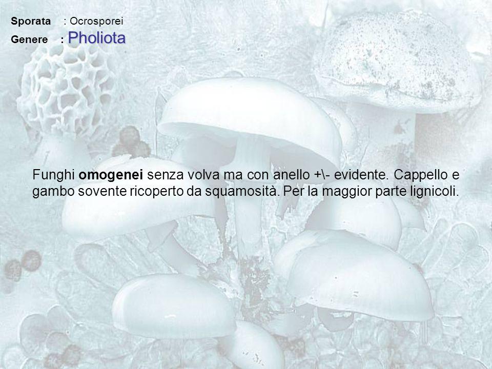Sporata : Ocrosporei Pholiota Genere : Pholiota Funghi omogenei senza volva ma con anello +\- evidente. Cappello e gambo sovente ricoperto da squamosi