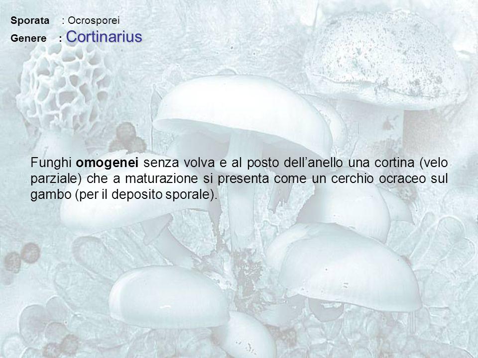 Sporata : Ocrosporei Cortinarius Genere : Cortinarius Funghi omogenei senza volva e al posto dellanello una cortina (velo parziale) che a maturazione