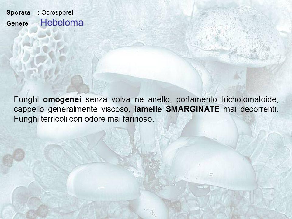 Sporata : Ocrosporei Hebeloma Genere : Hebeloma Funghi omogenei senza volva ne anello, portamento tricholomatoide, cappello generalmente viscoso, lame