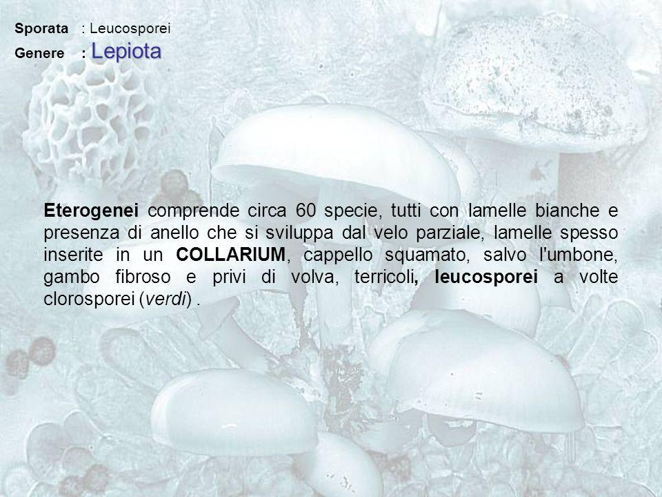 Sporata : Leucosporei Lepiota Genere : Lepiota Eterogenei comprende circa 60 specie, tutti con lamelle bianche e presenza di anello che si sviluppa da