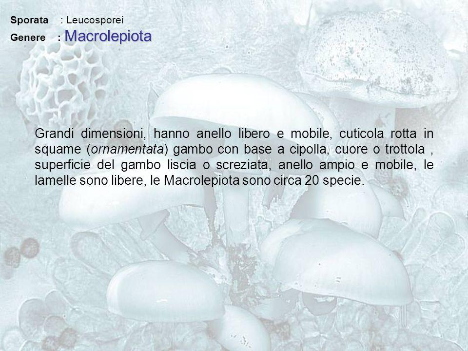 Sporata : Leucosporei Macrolepiota Genere : Macrolepiota Grandi dimensioni, hanno anello libero e mobile, cuticola rotta in squame (ornamentata) gambo