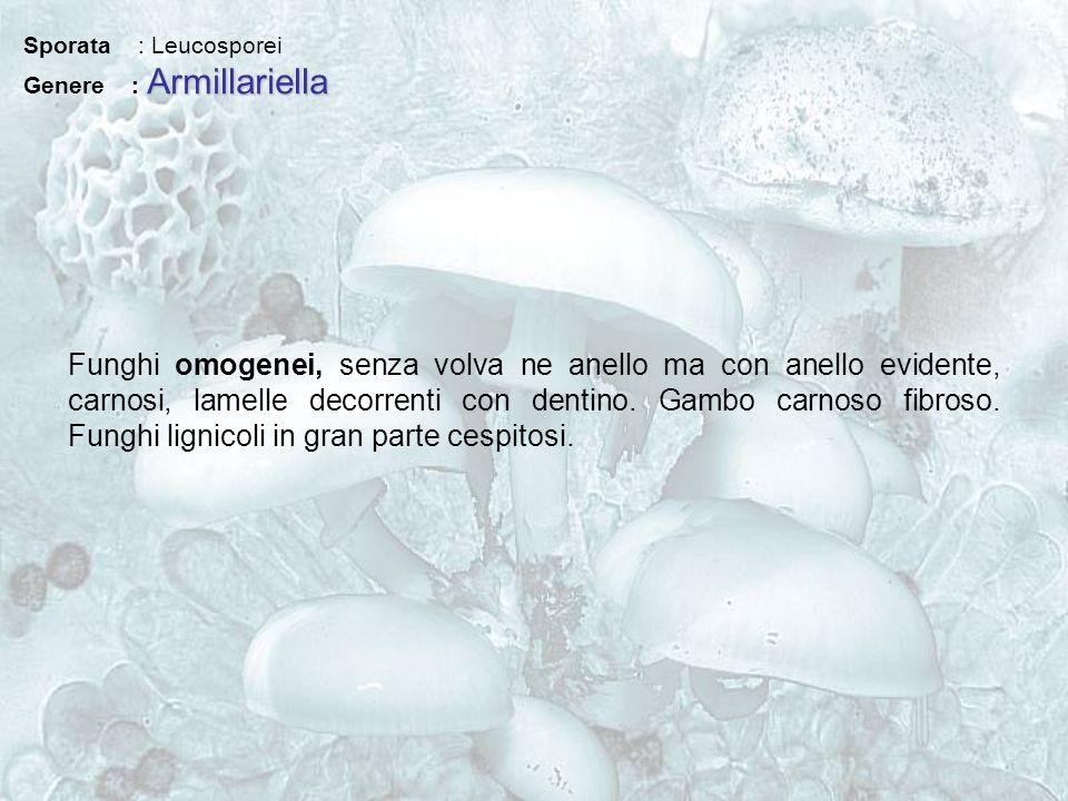 Sporata : Leucosporei Armillariella Genere : Armillariella Funghi omogenei, senza volva ne anello ma con anello evidente, carnosi, lamelle decorrenti