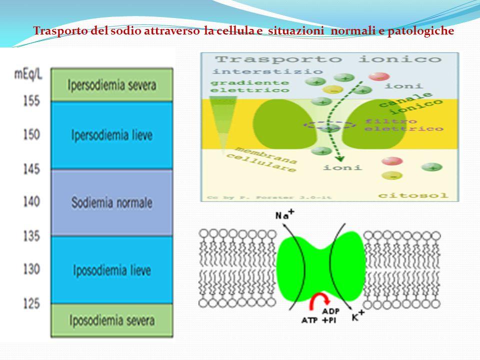 Trasporto del sodio attraverso la cellula e situazioni normali e patologiche