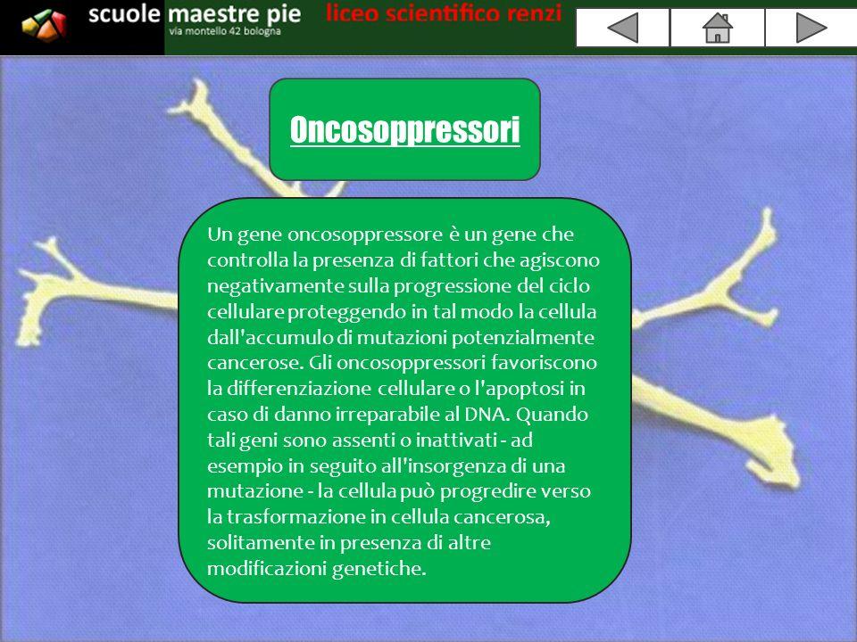 Oncosoppressori Un gene oncosoppressore è un gene che controlla la presenza di fattori che agiscono negativamente sulla progressione del ciclo cellulare proteggendo in tal modo la cellula dall accumulo di mutazioni potenzialmente cancerose.