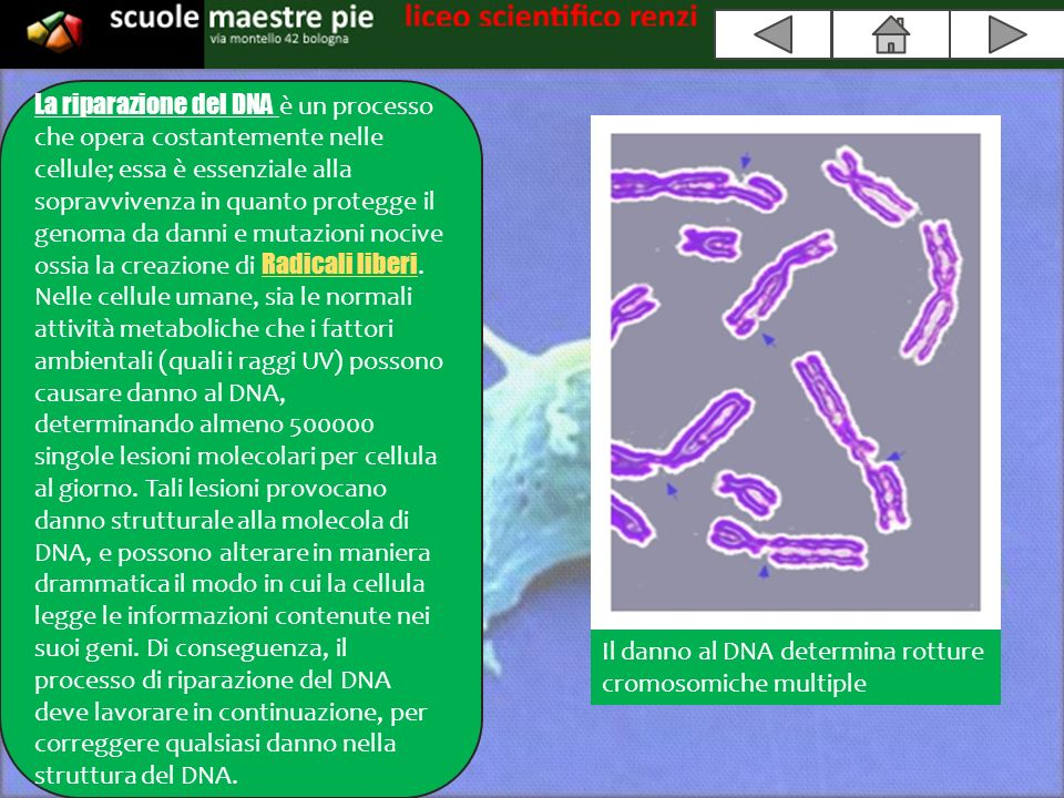 La riparazione del DNA è un processo che opera costantemente nelle cellule; essa è essenziale alla sopravvivenza in quanto protegge il genoma da danni e mutazioni nocive ossia la creazione di Radicali liberi.