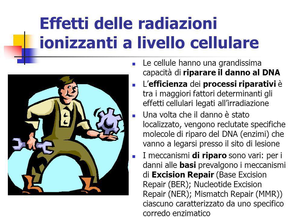 Effetti delle radiazioni ionizzanti a livello cellulare Le cellule hanno una grandissima capacità di riparare il danno al DNA Lefficienza dei processi