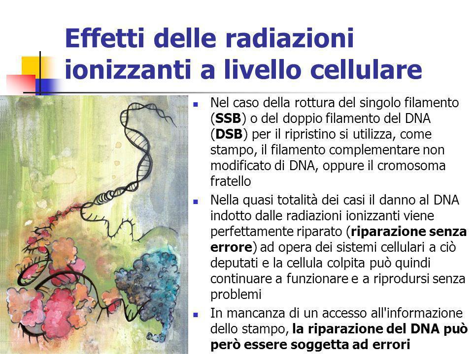 Effetti delle radiazioni ionizzanti a livello cellulare Nel caso della rottura del singolo filamento (SSB) o del doppio filamento del DNA (DSB) per il