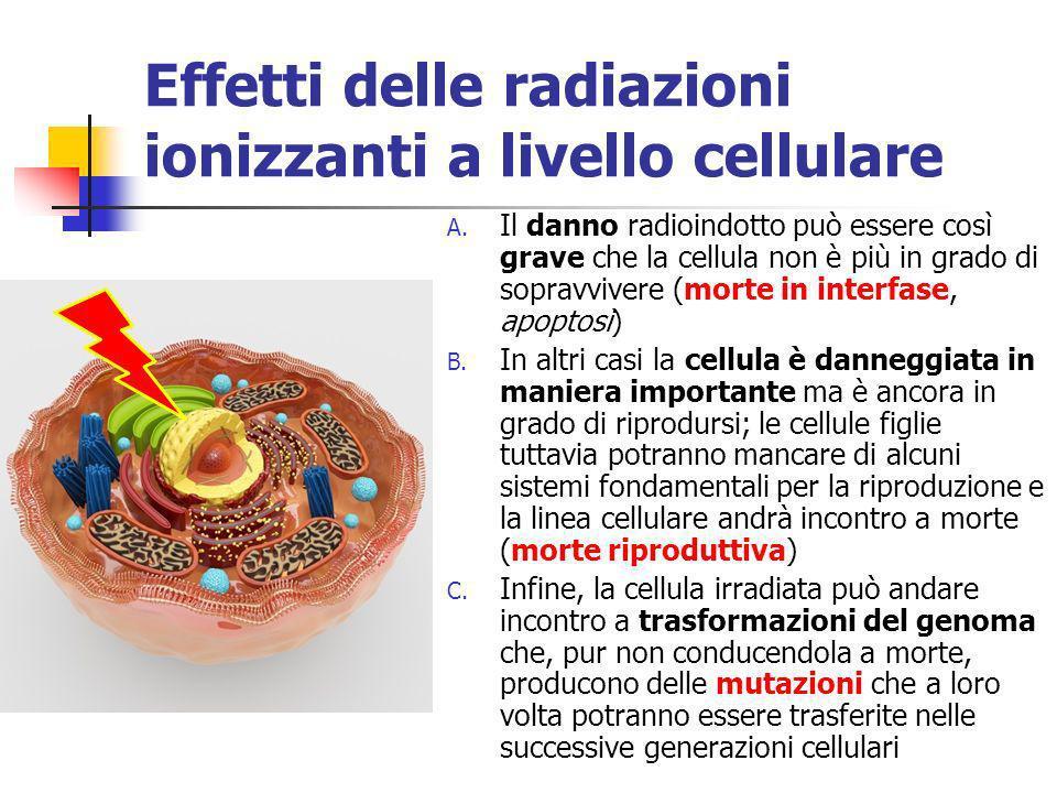 Effetti delle radiazioni ionizzanti a livello cellulare A. Il danno radioindotto può essere così grave che la cellula non è più in grado di sopravvive