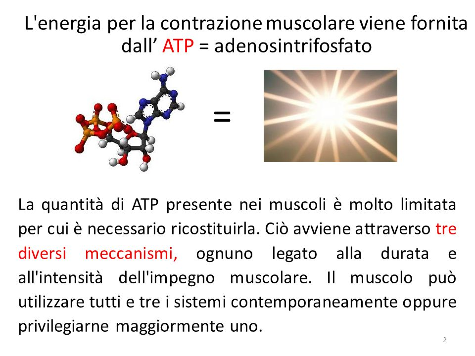 L'energia per la contrazione muscolare viene fornita dall ATP = adenosintrifosfato 2 La quantità di ATP presente nei muscoli è molto limitata per cui