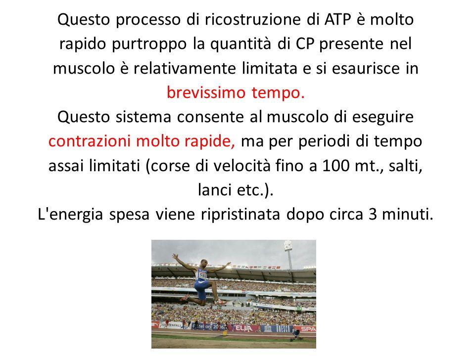 Questo processo di ricostruzione di ATP è molto rapido purtroppo la quantità di CP presente nel muscolo è relativamente limitata e si esaurisce in bre