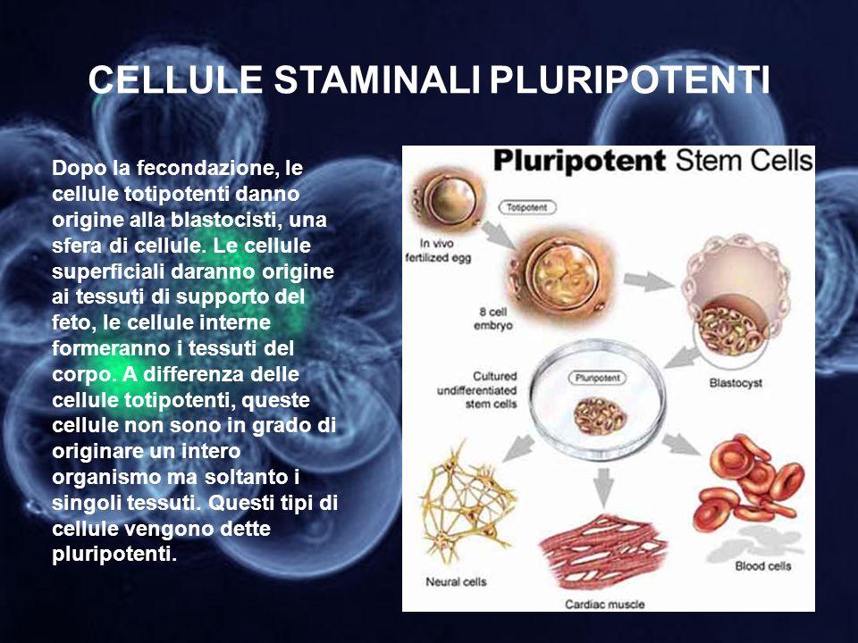 CELLULE STAMINALI PLURIPOTENTI Dopo la fecondazione, le cellule totipotenti danno origine alla blastocisti, una sfera di cellule. Le cellule superfici