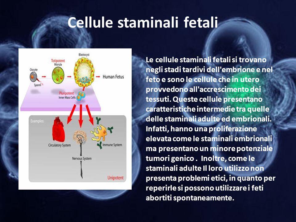 Cellule staminali fetali Le cellule staminali fetali si trovano negli stadi tardivi dell'embrione e nel feto e sono le cellule che in utero provvedono