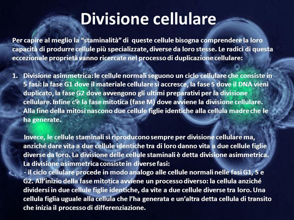 Divisione cellulare Per capire al meglio la staminalità di queste cellule bisogna comprendere la loro capacità di produrre cellule più specializzate,