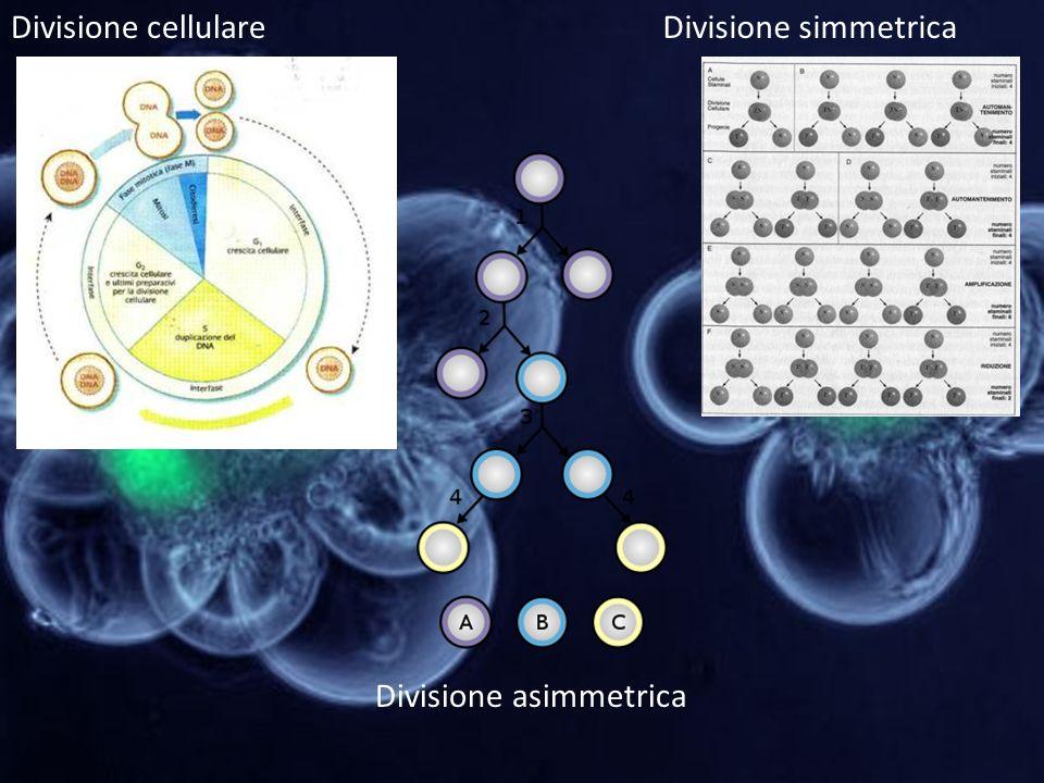 Divisione cellulareDivisione simmetrica Divisione asimmetrica