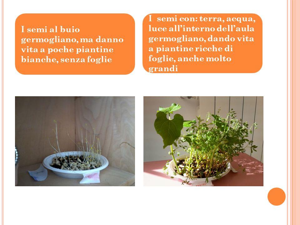 D OPO ALCUNI GIORNI OSSERVIAMO CHE : I semi senzacqua restano sempre uguali I semi senza terra, sullovatta bagnata germogliano