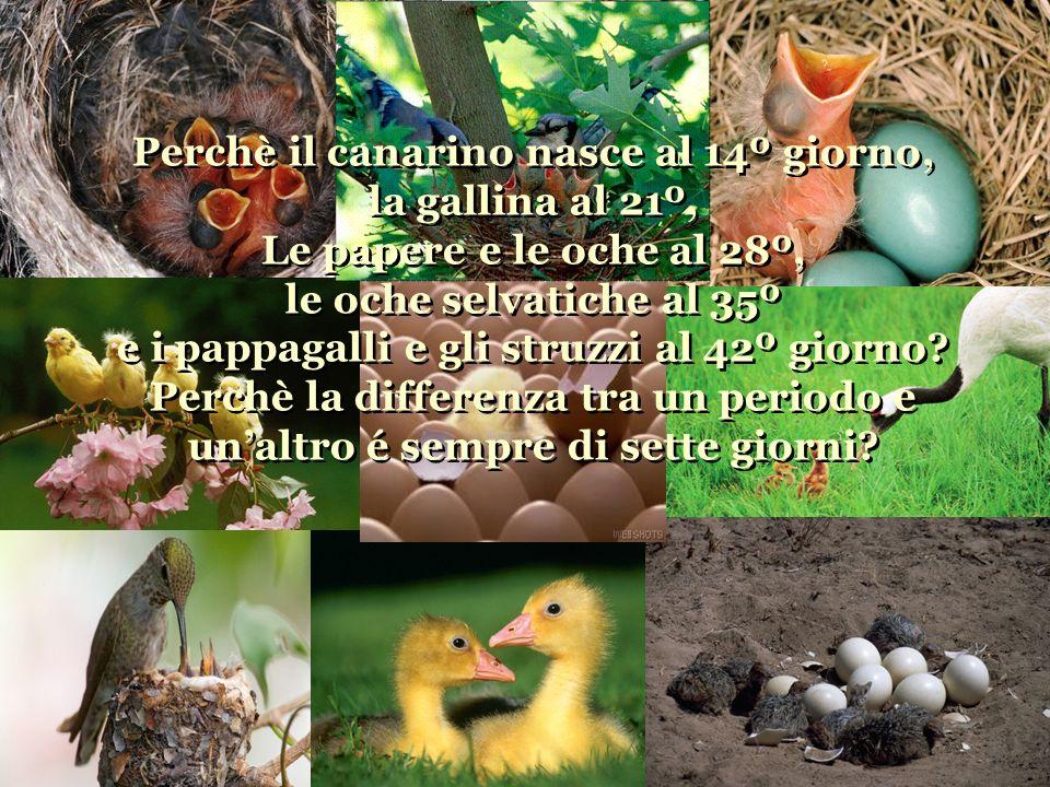 Perchè il canarino nasce al 14º giorno, la gallina al 21º, Le papere e le oche al 28º, le oche selvatiche al 35º e i pappagalli e gli struzzi al 42º giorno.