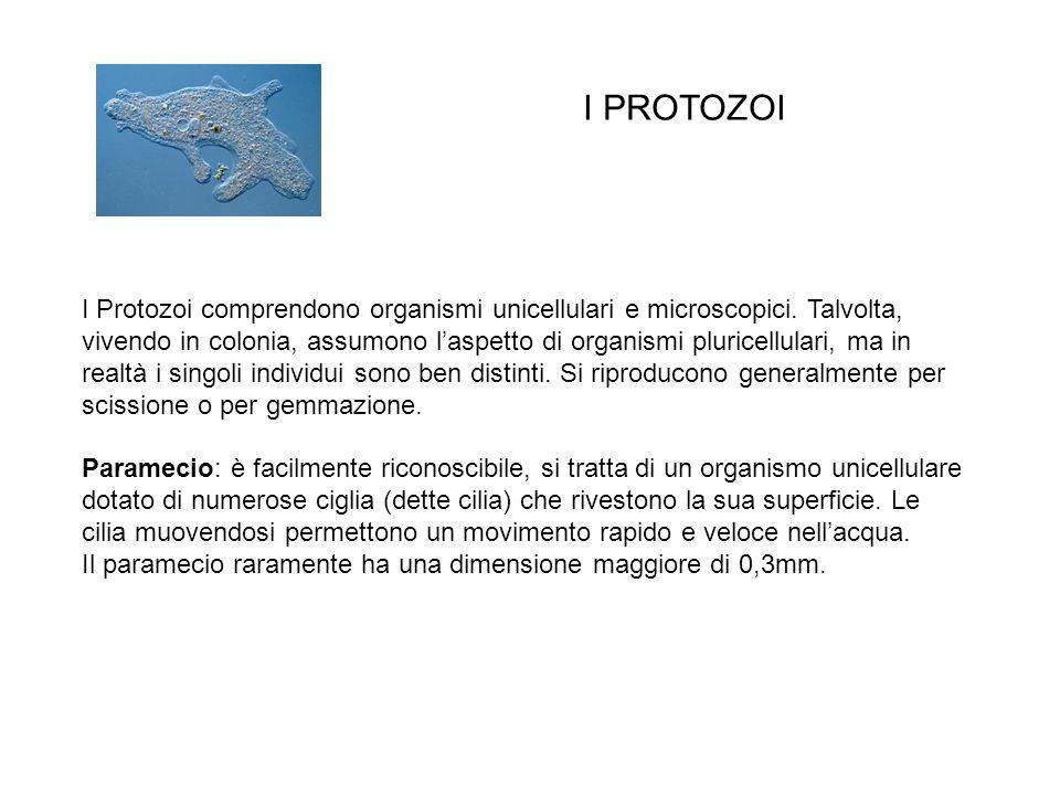 I Protozoi comprendono organismi unicellulari e microscopici. Talvolta, vivendo in colonia, assumono laspetto di organismi pluricellulari, ma in realt