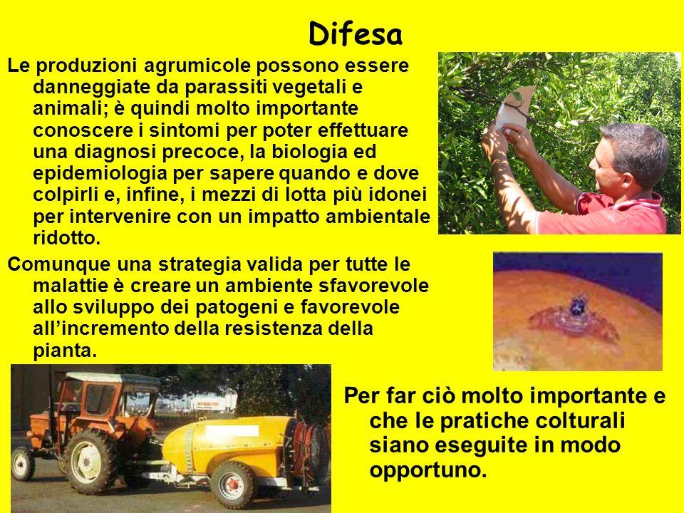 Difesa Le produzioni agrumicole possono essere danneggiate da parassiti vegetali e animali; è quindi molto importante conoscere i sintomi per poter ef