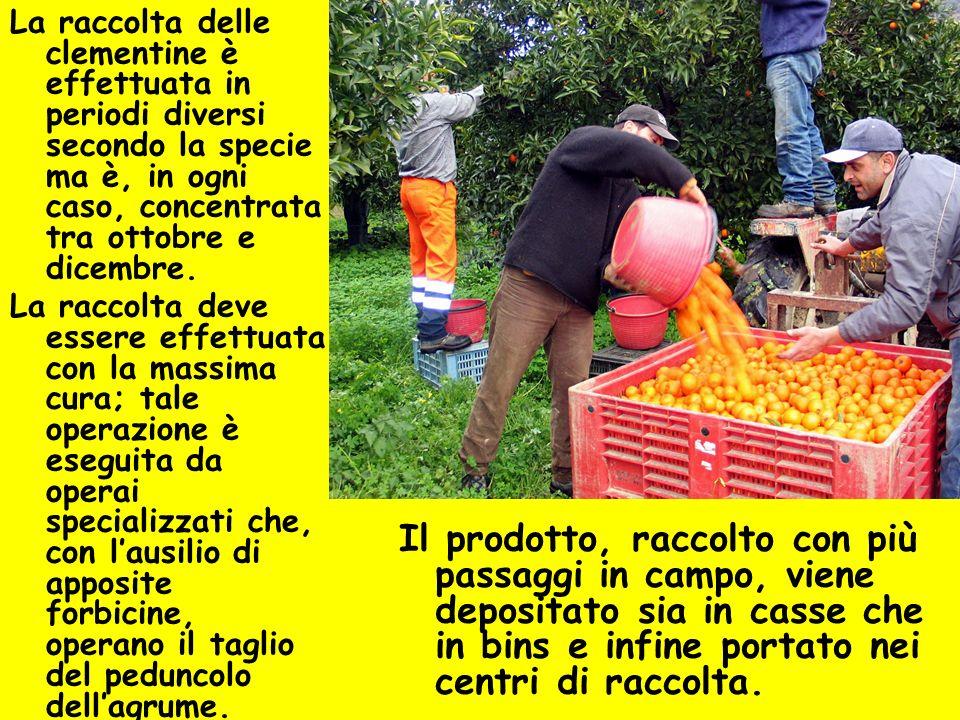 La raccolta delle clementine è effettuata in periodi diversi secondo la specie ma è, in ogni caso, concentrata tra ottobre e dicembre.