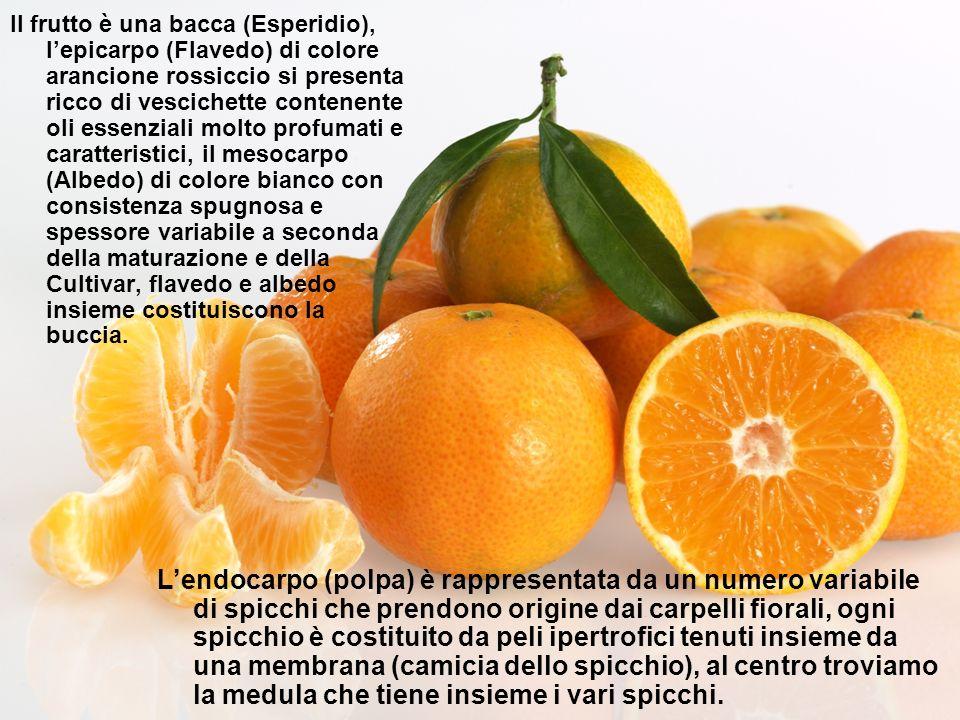 Il frutto è una bacca (Esperidio), lepicarpo (Flavedo) di colore arancione rossiccio si presenta ricco di vescichette contenente oli essenziali molto