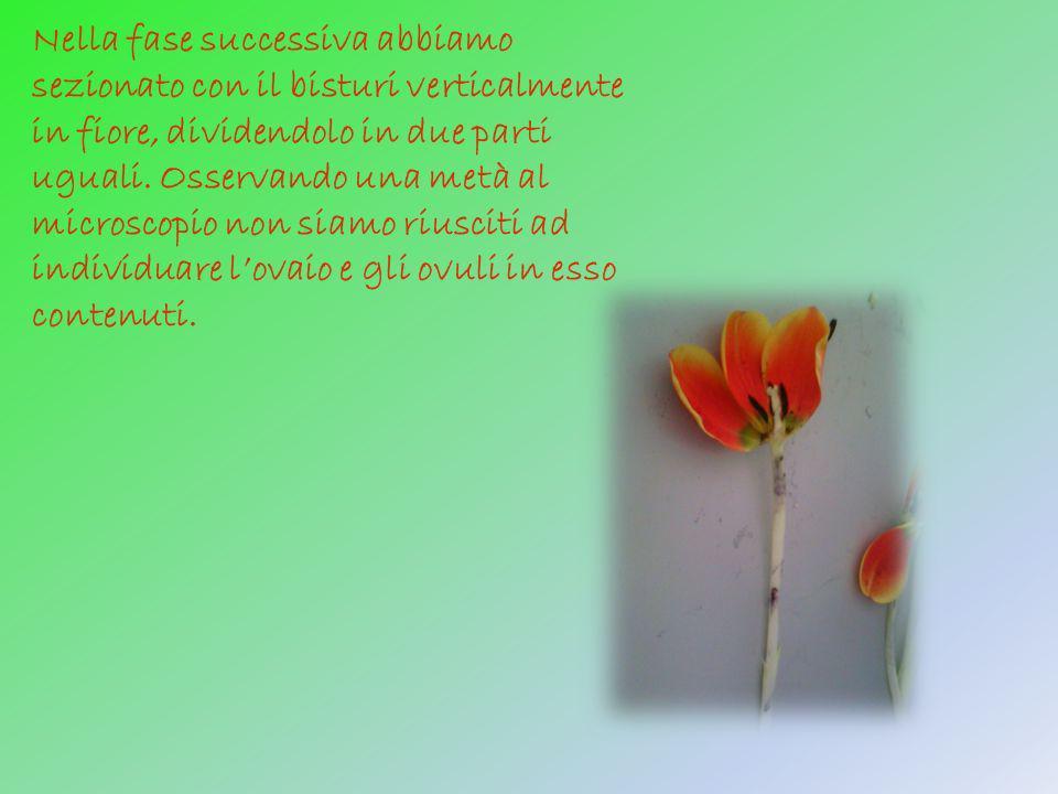 Nella fase successiva abbiamo sezionato con il bisturi verticalmente in fiore, dividendolo in due parti uguali. Osservando una metà al microscopio non