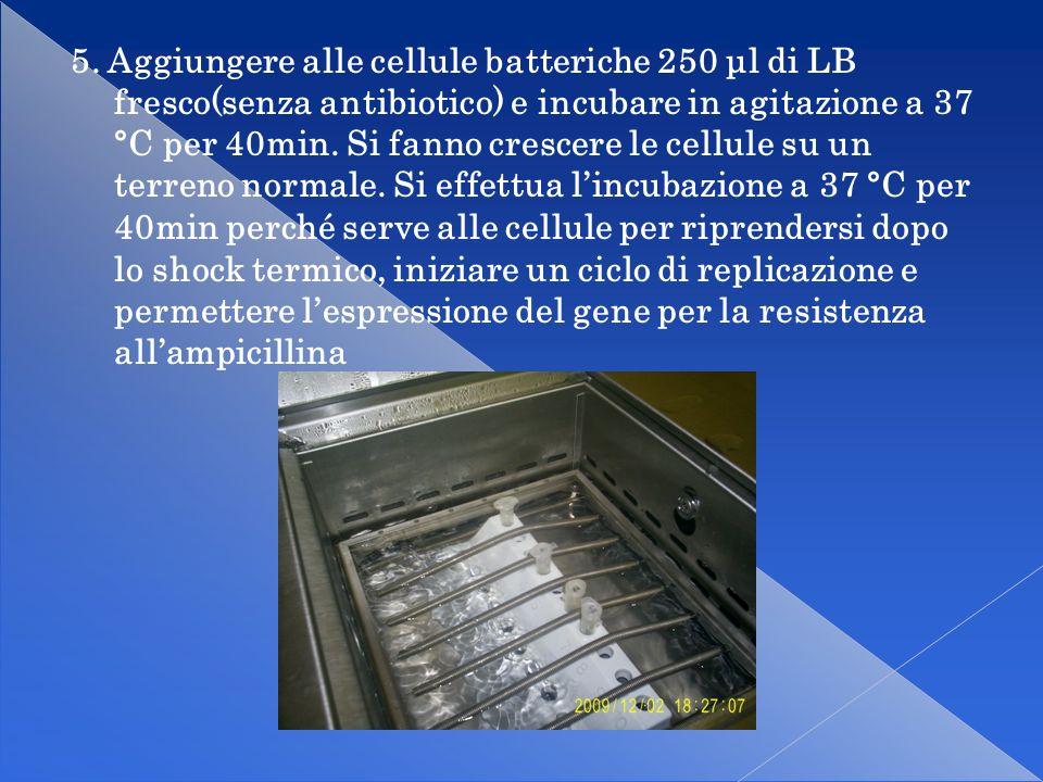 6.Allestire delle piastre con il terreno LB agarizzato contenente 50 g/mL di ampicillina.