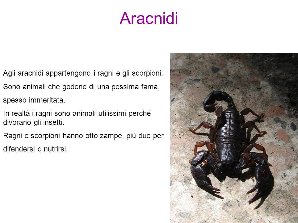 Aracnidi Agli aracnidi appartengono i ragni e gli scorpioni. Sono animali che godono di una pessima fama, spesso immeritata. In realtà i ragni sono an