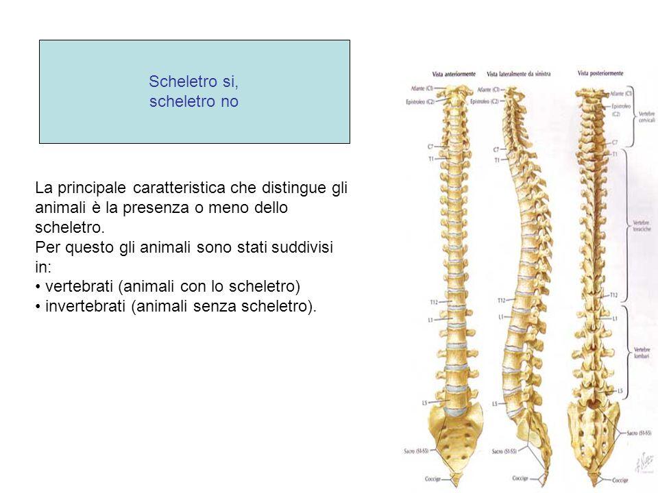 La principale caratteristica che distingue gli animali è la presenza o meno dello scheletro. Per questo gli animali sono stati suddivisi in: vertebrat