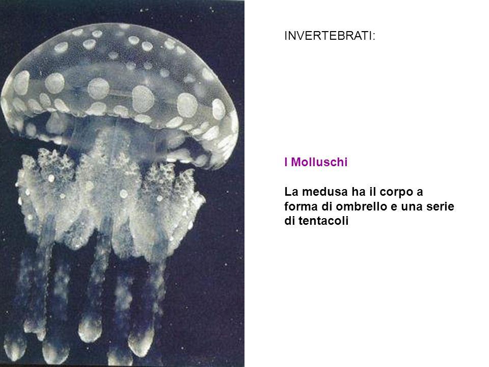 I Molluschi La medusa ha il corpo a forma di ombrello e una serie di tentacoli INVERTEBRATI: