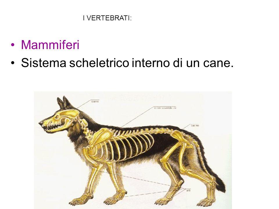 Mammiferi Sistema scheletrico interno di un cane. I VERTEBRATI: