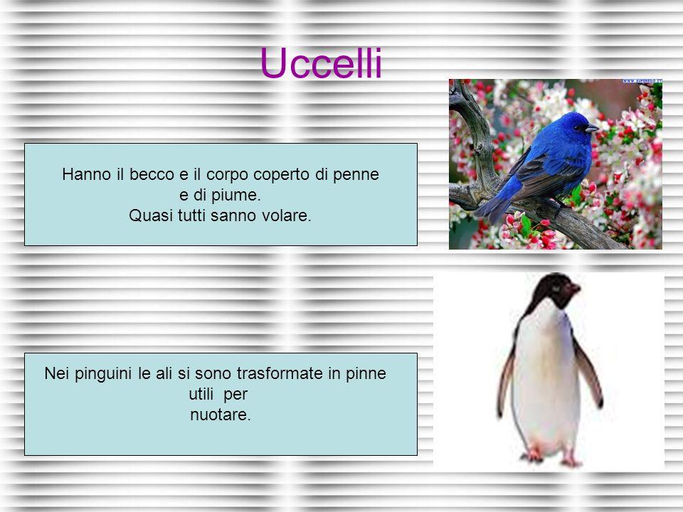 Uccelli Hanno il becco e il corpo coperto di penne e di piume. Quasi tutti sanno volare. Nei pinguini le ali si sono trasformate in pinne utili per nu