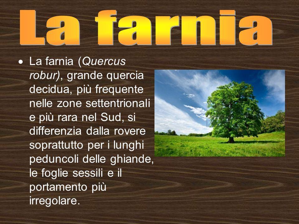 La farnia (Quercus robur), grande quercia decidua, più frequente nelle zone settentrionali e più rara nel Sud, si differenzia dalla rovere soprattutto
