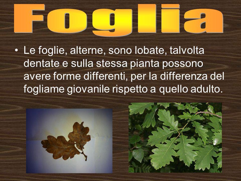 Le foglie, alterne, sono lobate, talvolta dentate e sulla stessa pianta possono avere forme differenti, per la differenza del fogliame giovanile rispe