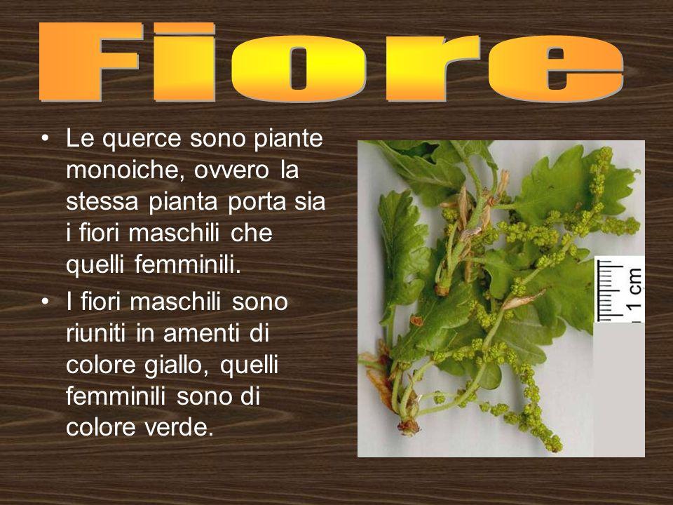 Le querce sono piante monoiche, ovvero la stessa pianta porta sia i fiori maschili che quelli femminili. I fiori maschili sono riuniti in amenti di co
