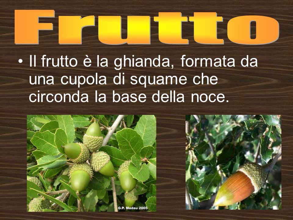 Il frutto è la ghianda, formata da una cupola di squame che circonda la base della noce.